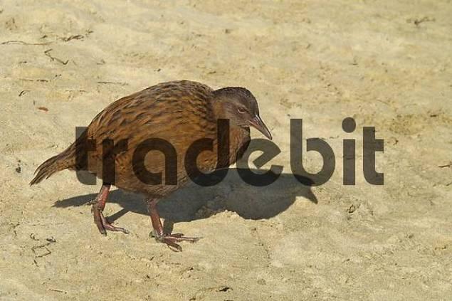 Weka ein flugunfähiger Vogel am Strand von Ulva Island bei Stewart Island Neuseeland