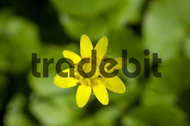 Lesser Celandine Ranunculus ficaria