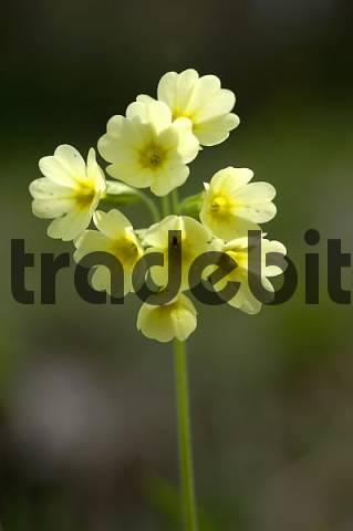 cowslip Primula veris L.