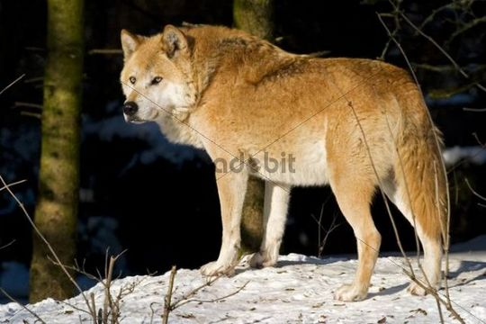 European wolf (Canis lupus lupus) in winter, Wildpark Poing wildlife park, Bavaria, Germany, Europe