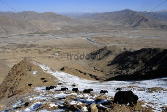 Yaks at snow covered slope above the valley of Lhasa River Kyi Chu Tibet China