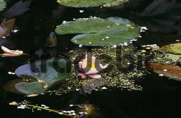 water lily Nymphaea in Inverewe Garden in Scotland Great Britain