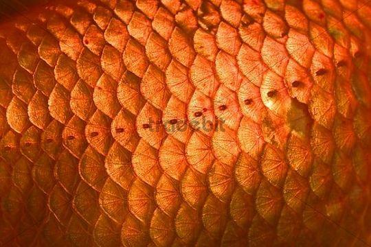 Goldfish scales close up carassius auratus captive for Koi fish scales