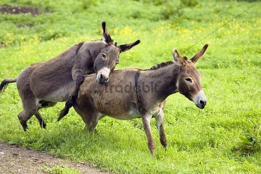 Donkeys, pair mating, Equus asinus, Germany Download Animals