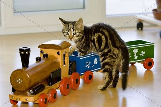 young domestic cat with toy train