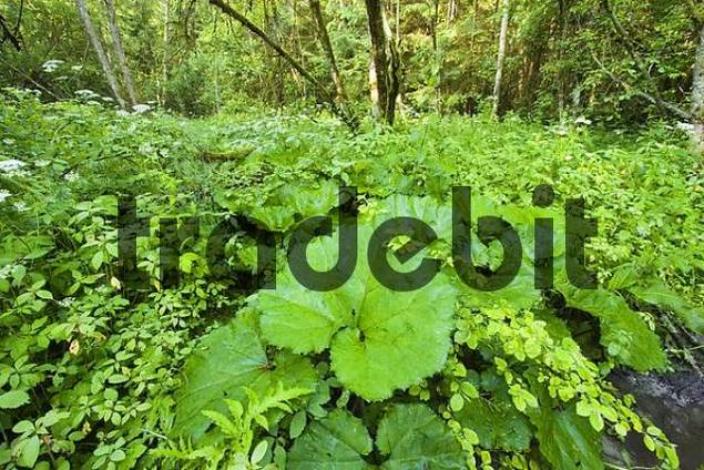 alluvial forest at Isar river Upper Bavaria Germany