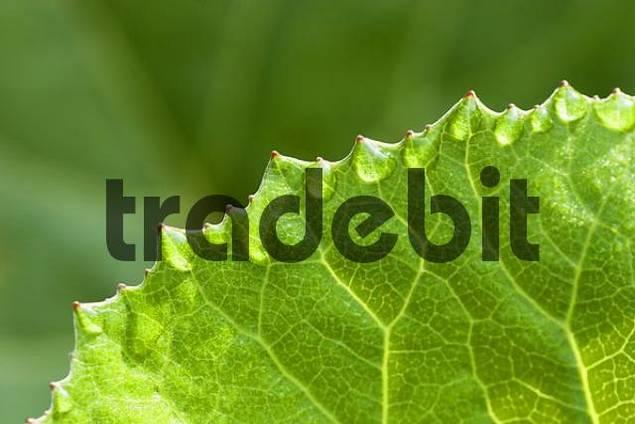 leaf of butterbur - Petasites hybridus