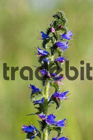 flower of Vipers Bugloss Echium vulgare Germany