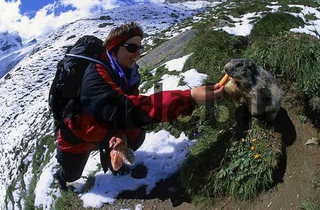 Woman feeding carrots to an Alpine marmot Marmota marmota near Saas Fee Switzerland