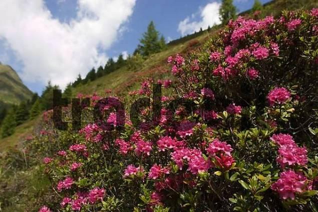 rustbladet alperose Rhododendron ferrugineum Tyrol Austria