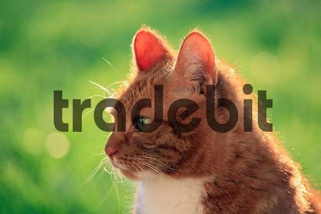 red tabby cat, portrait