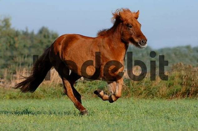 island pony gallopping