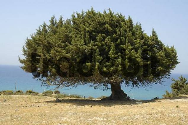 Big free standing juniper tree with blue sea near Kefalos Island of Kos Greece
