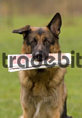 German Sheperd with newspaper in its mouth