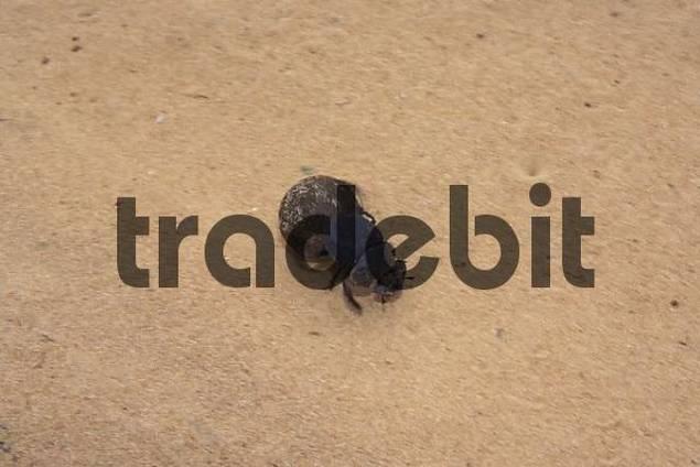 Dung beetle rolls dung