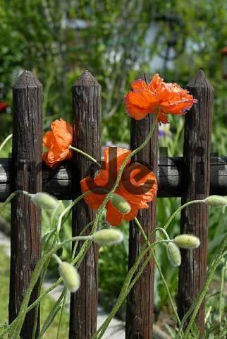 Corn poppy Papaver rhoeas at a garden fence