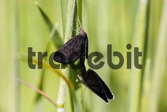 Chimney Sweeper, Odezia atrata Geometridae