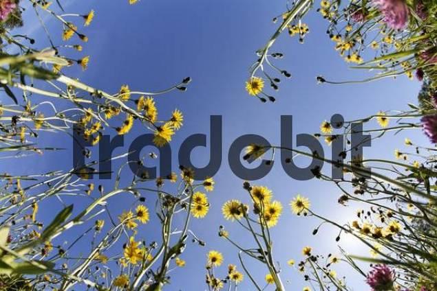 flowers in meadow, Germany