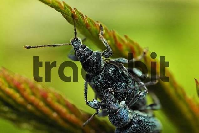 pair of beetles, Phyllobius maculicornis Curculionidae