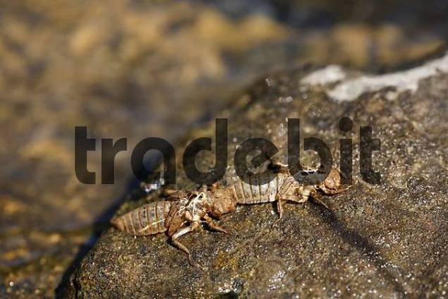 exuviae of green eyed hook, tailed dragonfly, Onychogomphus forcipatus,