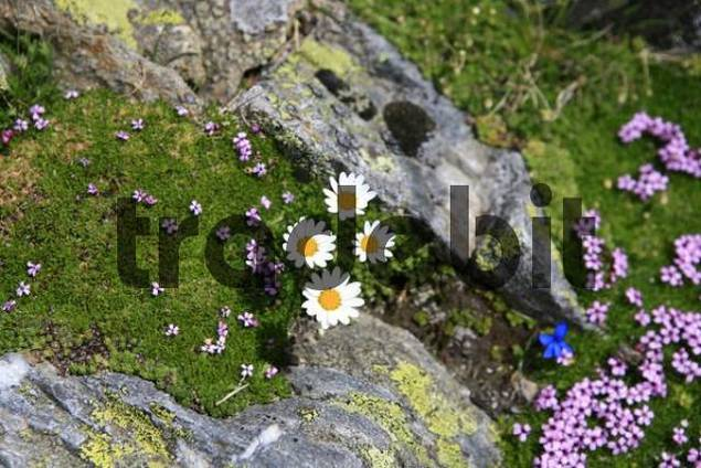 Flowers on moss-covered rocks with lichen