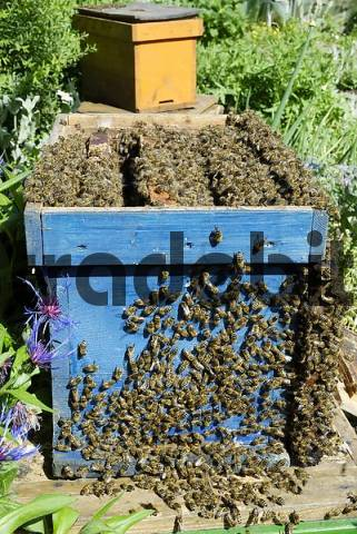 Open beehive with bees clinging to honeycombs and merging towards loop hole