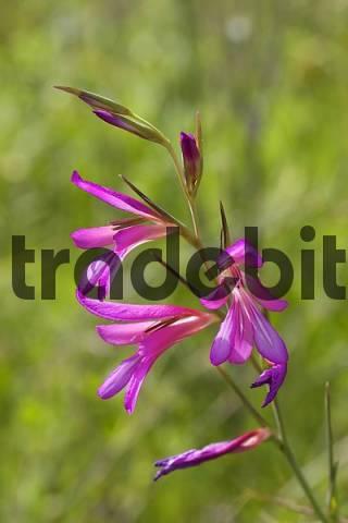 wild gladiolus Gladiolus illyricus Canary Islands - La Gomera