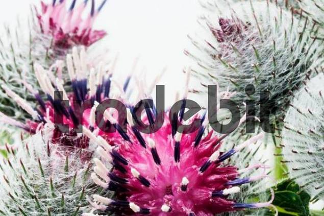 Detail from blossom of burdock Arctium lappa