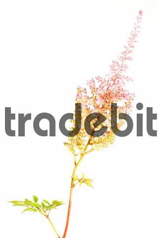 Detail from blossom of meadowsweet Spiraea