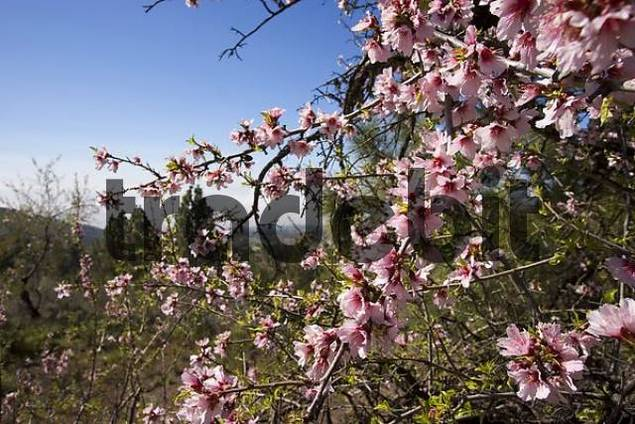 blooming almond tree Tenerife Canary Islands Spain