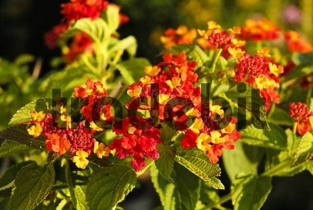 Tropical lantana plant with splenid flowers, Lantna amata, Verbenaceae