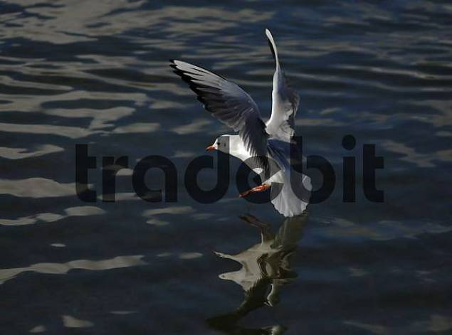Common gull Larus canus landing in water, distorted reflection