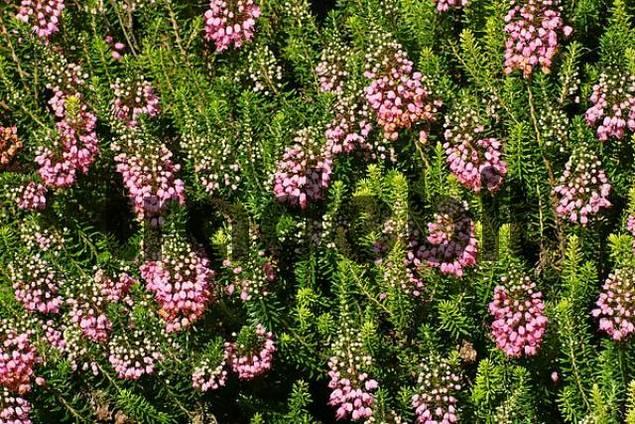 flowering cornish heath cultivar st keverne erica vagans st kever. Black Bedroom Furniture Sets. Home Design Ideas
