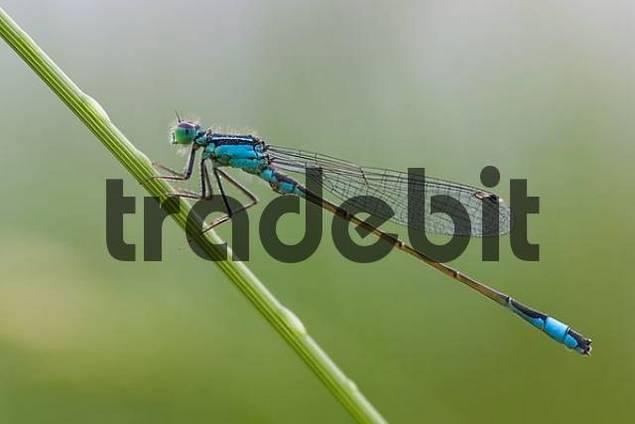 Blue tailed Damselfly, male