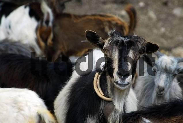 goats Capra, Kefalonia, Ionian Islands, Greece