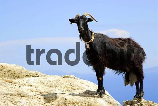 black goat Capra on a rock, Kefalonia, Ionian Islands, Greece