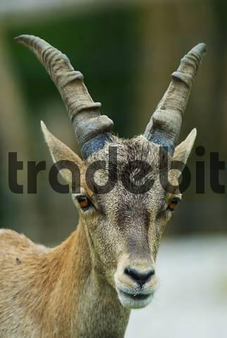 Alpina ibex Capra ibex ibex