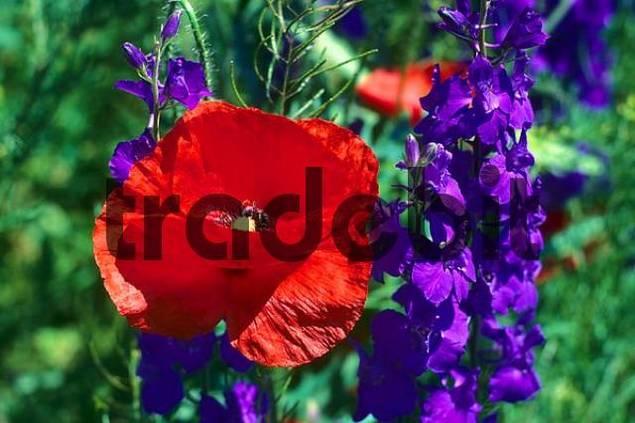 Corn poppy Papaver rhoeas and Larkspur Delphinium orientalis