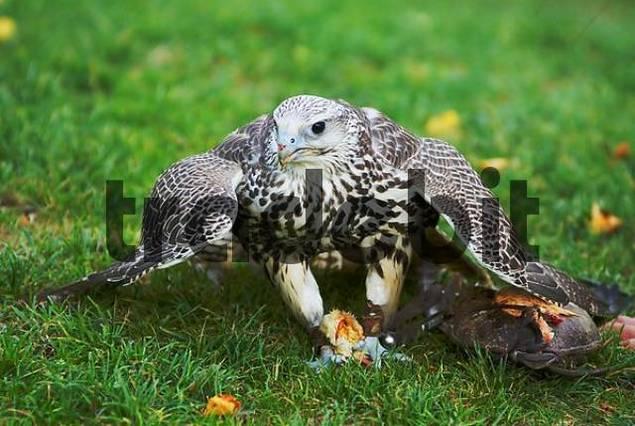 young Saker Falcon Falco cherrug holding prey