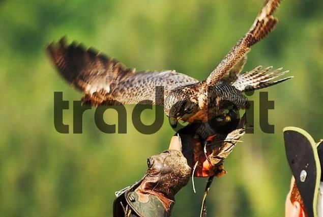 Gyrfalcon Falco rusticolus landing on falconers hand