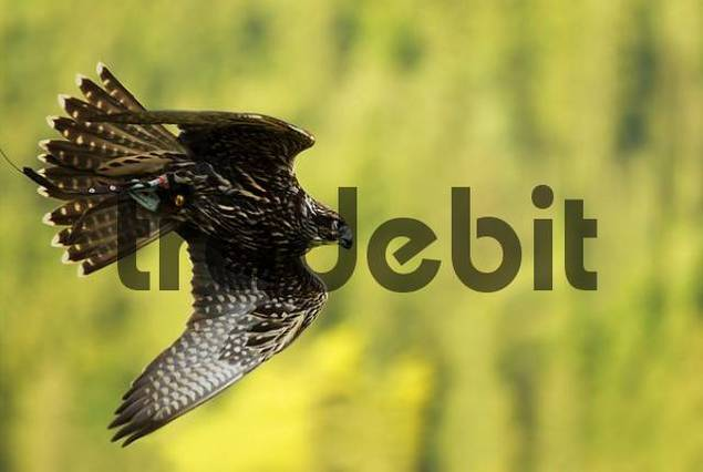 flying Saker Falcon Falco cherrug