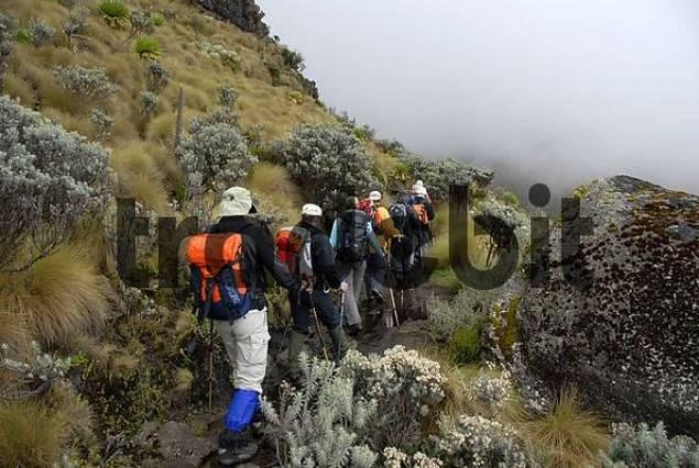 Group of trekkers on a wet footpath through fen landscape trek into the mist Mount Kenya National Park Kenya