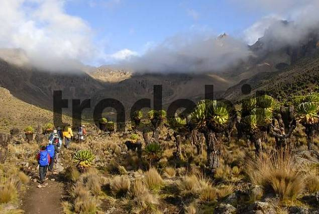 Group of trekkers on a footpath between endemic giant groundsel Senecio keniodendron with summits surrounded by clouds in the background Mount Kenya National Park Kenya