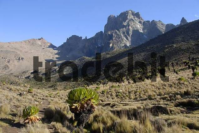 Mountain landscape with endemic giant groundsel Senecio keniodendron and the rocky mountain summit Batian 5199 m and Point Lenana 4985 m in the background Mount Kenya National Park Kenya