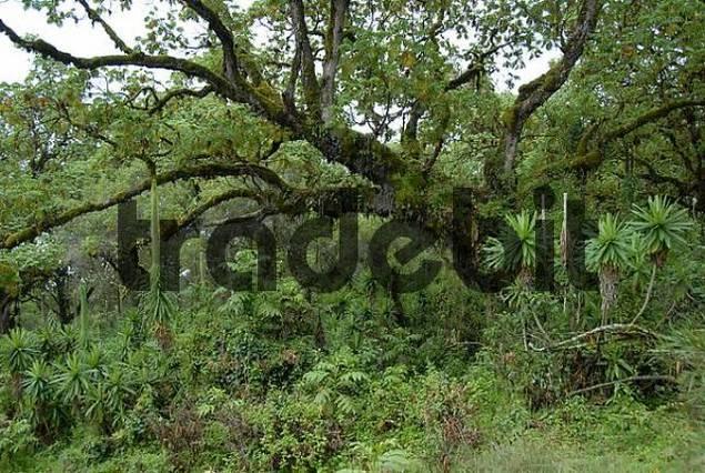 Pristine jungle montane forest Mount Kenya National Park Kenya