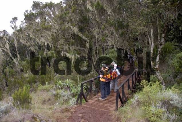 Group of trekkers on a bridge in misty erica-forest covered with lichens Marangu Route Kilimanjaro Tanzania