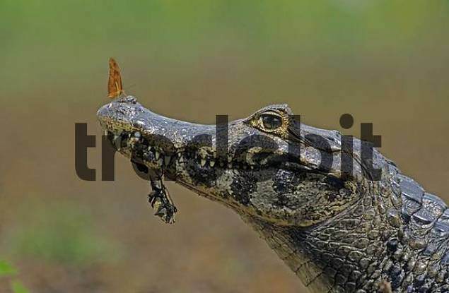 spectacled Caiman Caiman crocodilus with butterfly on the nose, Pantanal, Brazil, South America