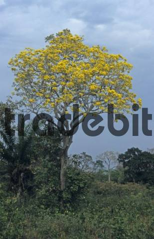 yellow blooming Gold Trumpet Tree Tabebuia ochracea Pantanal, Brazil, South America