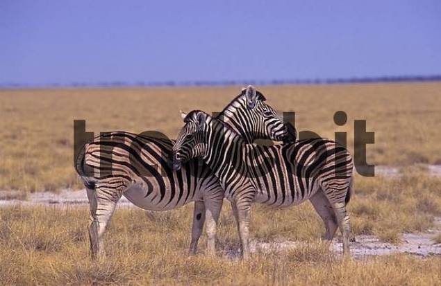 Plains Zebras Equus quagga Namibia, Africa