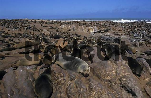 seal colony Pinnipedia Cape Cross, Namibia, Africa
